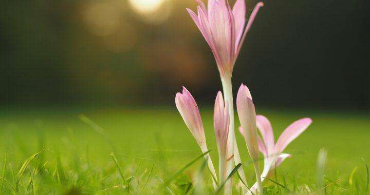 Vaaleanpunainen kukka kasvaa nurmikolla.