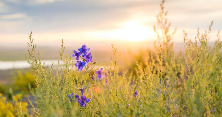 kesäaamu, auringonnousu ja sininen kukka