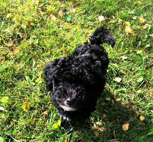 Vihreällä nurmella musta, kiharakarvainen koira.